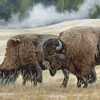 Bison at Old Faithful