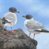 Galapagos Swallow Tailed Gull
