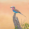 Lilac-breasted Roller 2